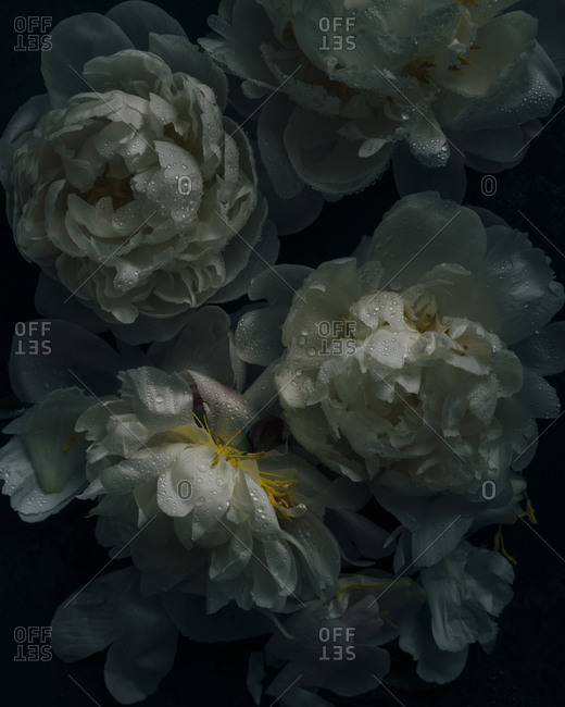 Wet white peonies