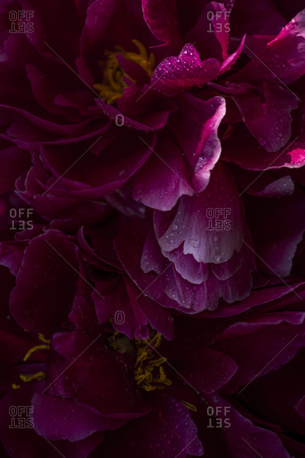 Pink peonies in lowlight