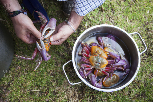 Man preparing red mangrove crabs to be cooked in a pot with water