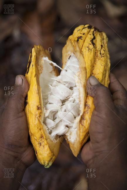 Man holding split-open cacao fruit pod Quito, Ecuador