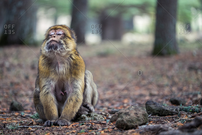 Cute expressive monkey sitting with eyes closed on the ground