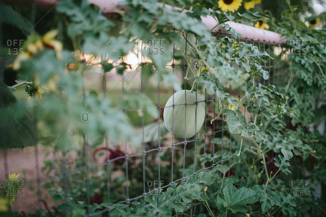 Melon grows on vine