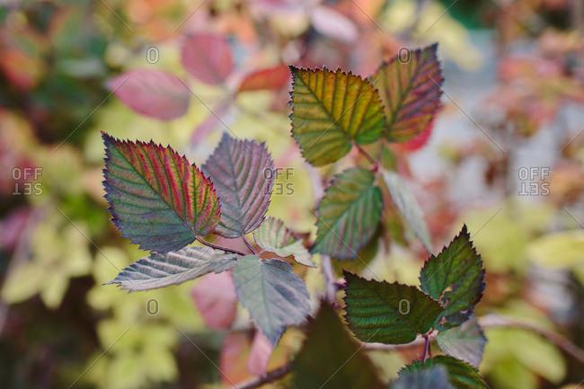 Blackberry bush in autumn