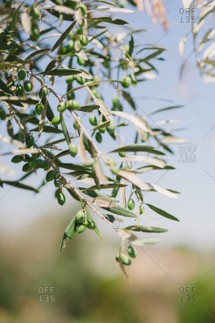 Green olives growing on tree