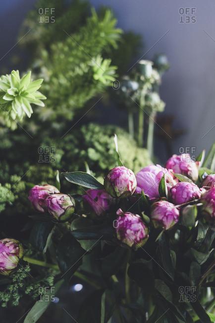 Pink peonies in pre-bloom