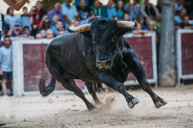 Bull on the bullring sand