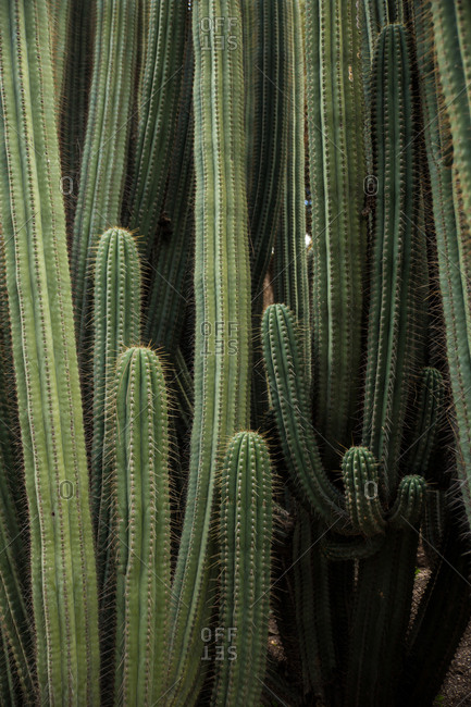 Amazing green and thorny cacti of big sizes growing together.