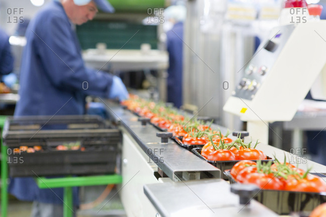 Worker packing ripe red vine tomatoes on production line in food processing plant