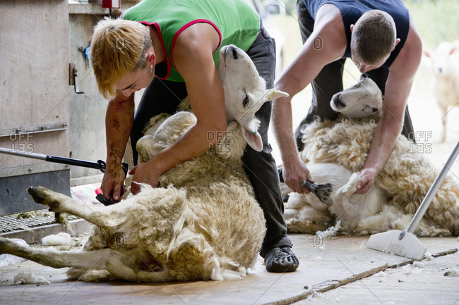 Farm workers shearing sheep for their wool