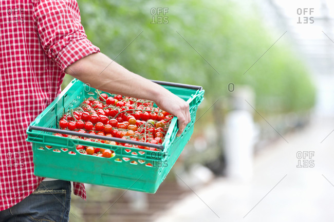 Grower carrying crate of ripe red vine tomatoes in greenhouse