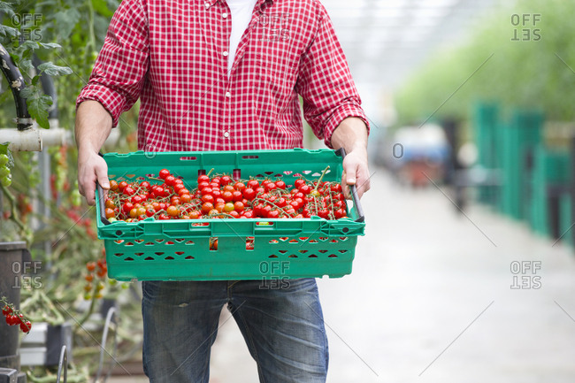 Worker carrying crate of ripe red vine tomatoes in greenhouse