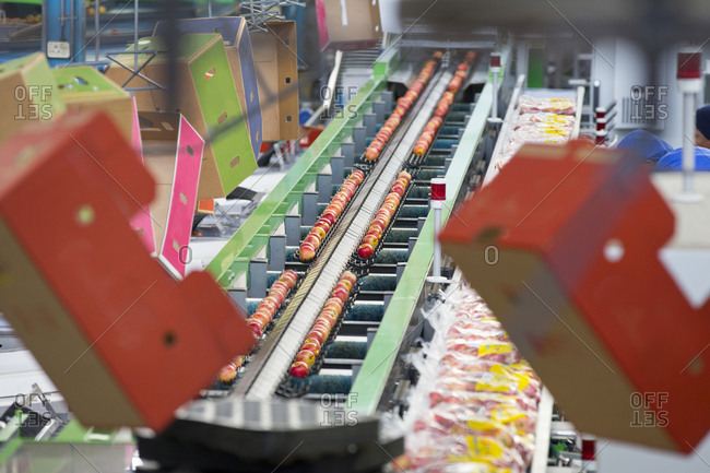 Apples Being Packaged Into Bags In Fruit Processing Plant