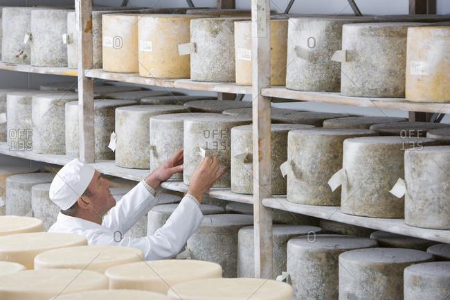 Cheese maker checking farmhouse cheddar cheese wheels on shelf in cellar