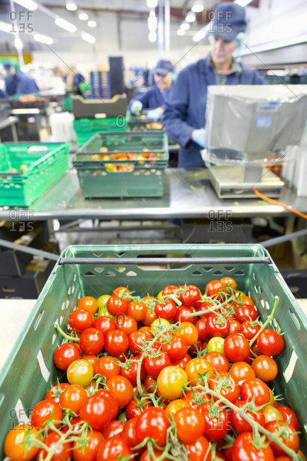 Ripe red vine tomatoes in bin in food processing plant
