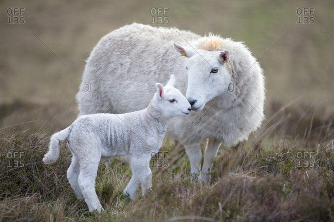 Sheep and lamb on moorland