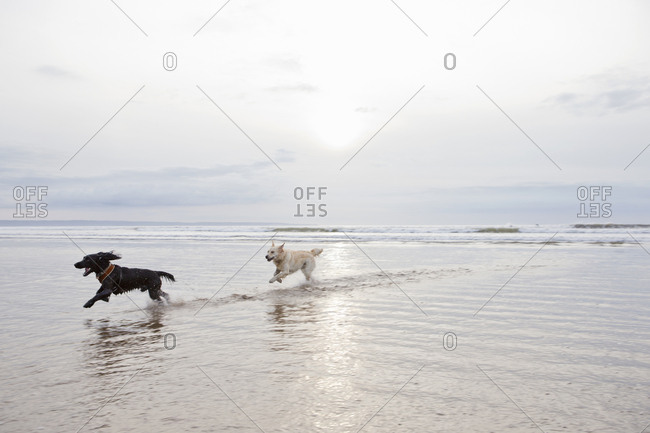 Dogs running and splashing in ocean surf