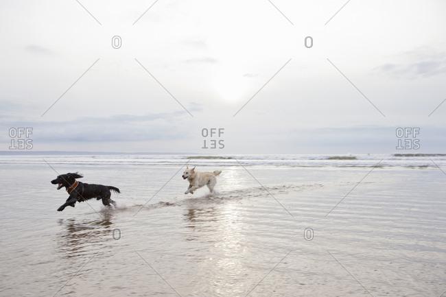 Dogs running and splashing in ocean surf