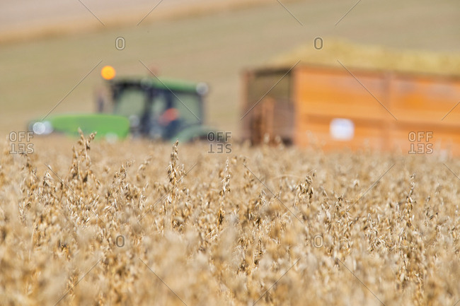 Tractor And Trailer In Field Harvesting Oats