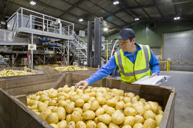 Worker with clipboard examining fresh harvested potatoes at bin
