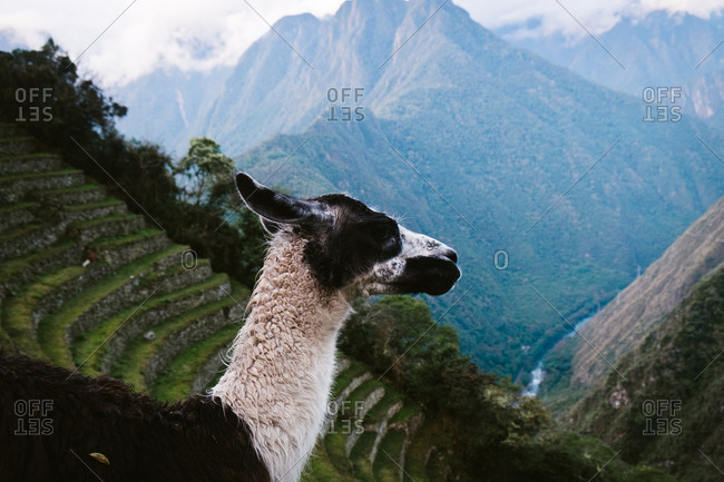 Llama overlooking Andes mountains