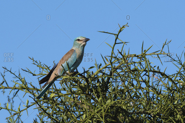 A European roller (Coracias garrulus) perched on a tree, Tsavo, Kenya, East Africa, Africa