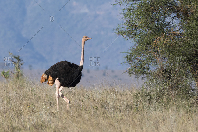 A male ostrich (Struthio camelus), Tsavo, Kenya, East Africa, Africa