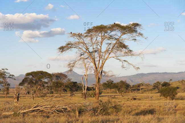 Trees in a plain in Tsavo, Tsavo, Kenya, East Africa, Africa