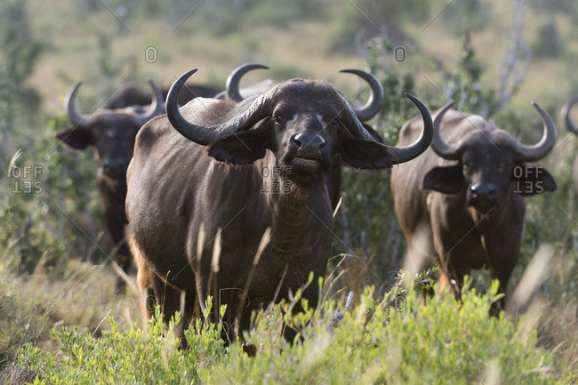 Portrait of an African buffalo (Syncerus caffer) looking at the camera, Tsavo, Kenya, East Africa, Africa