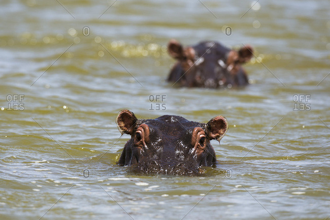 Close up of hippos (Hippopotamus amphibius) submerged in Lake Gipe, Tsavo, Kenya, East Africa, Africa