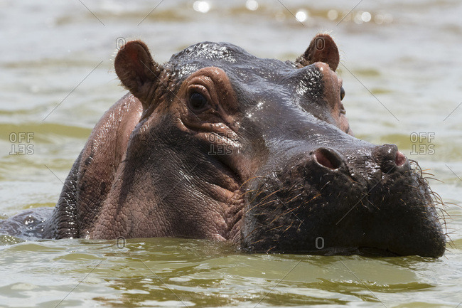 Close up of an hippopotamus (Hippopotamus amphibius) submerged in Lake Gipe and looking at the camera, Tsavo, Kenya, East Africa, Africa