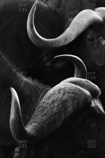 Close up portrait of an African buffalo (Syncerus caffer) at a waterhole, Tsavo, Kenya, East Africa, Africa