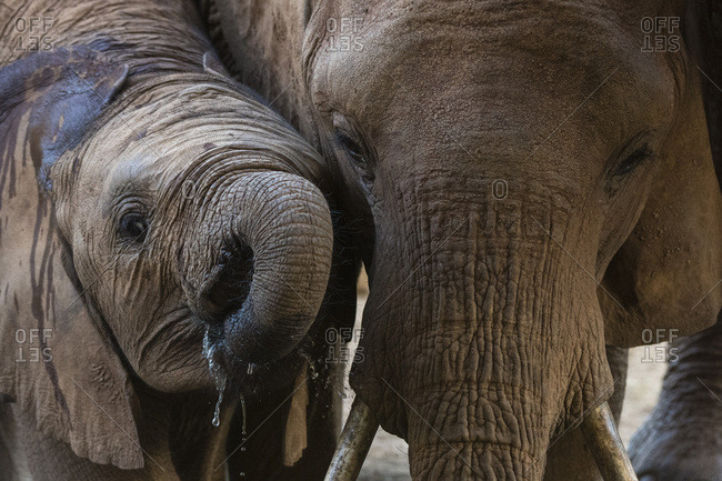 A female African elephant (Loxodonta africana) with her calf, drinking at a waterhole, Tsavo, Kenya, East Africa, Africa