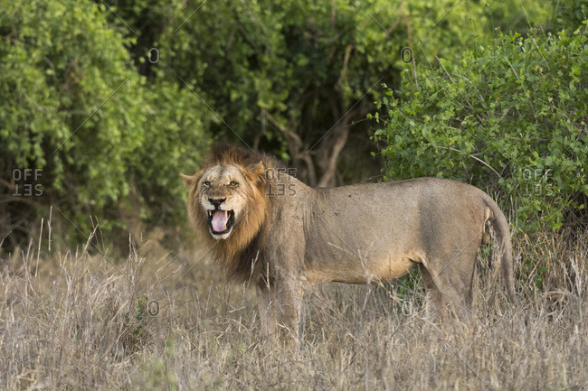 A male lion (Panthera leo), doing the flehmen grimace, Tsavo, Kenya, East Africa, Africa