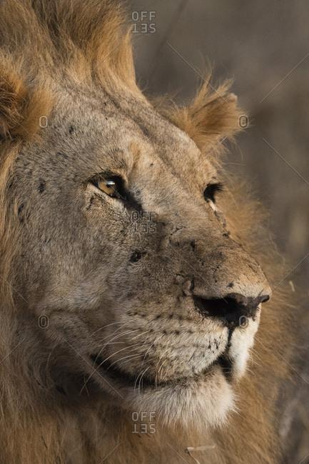 Close up portrait of a lion (Panthera leo), Tsavo, Kenya, East Africa, Africa