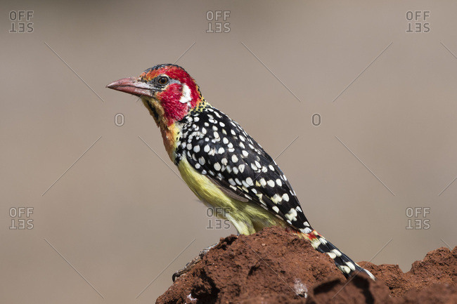 A red-and-yellow barbet (Trachyphonus erythrocephalus), on a termite mound, Kenya, East Africa, Africa