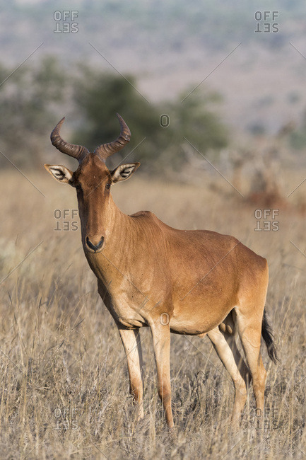Portrait of an hartebeest (Alcelaphus buselaphus) standing and looking at the camera, Tsavo, Kenya, East Africa, Africa