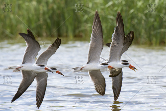 African skimmers (Rynchops flavirostris) in flight over Lake Gipe, Tsavo, Kenya, East Africa, Africa