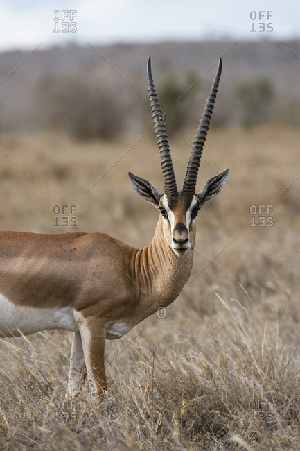 A Grant's gazelle (Gazella granti), looks into the camera, Tsavo, Kenya, East Africa, Africa