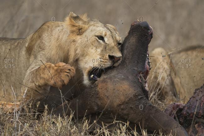 A sub-adult male lion (Panthera leo) feeding on a buffalo kill, Tsavo, Kenya, East Africa, Africa