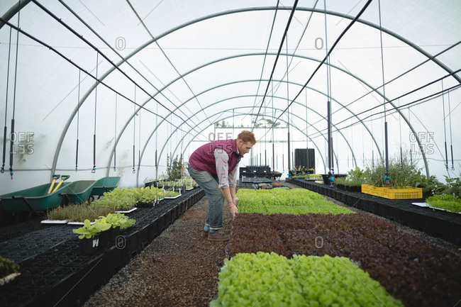 Young farmer examining a plant in greenhouse