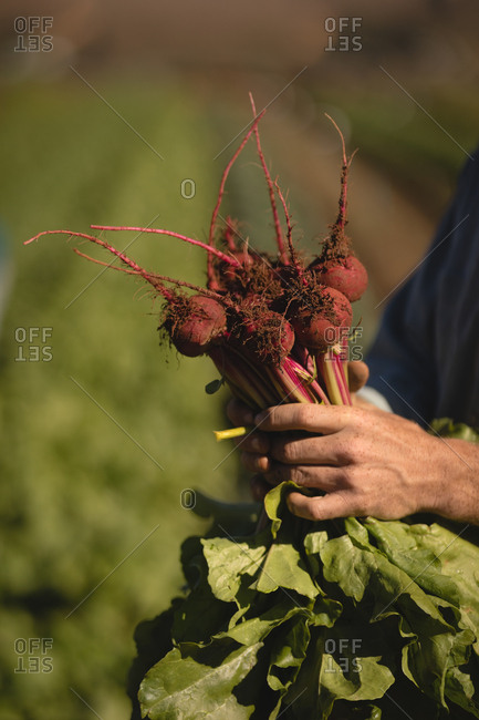 Farmer holding harvested beetroot in field on a sunny day