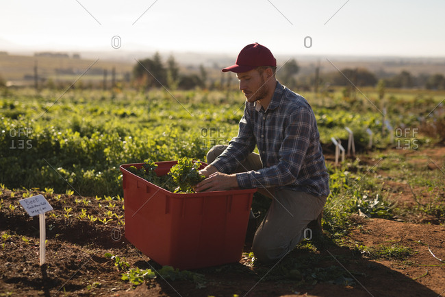 Farmer harvesting leafy vegetable in field on a sunny day