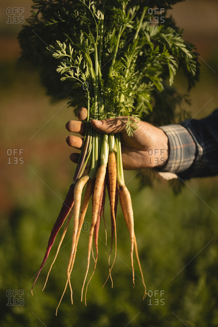 Farmer holding harvested radish in field on a sunny day