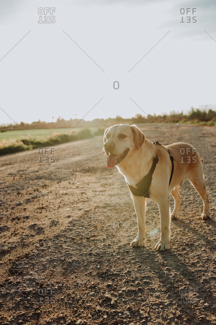 Healthy dog at sunset