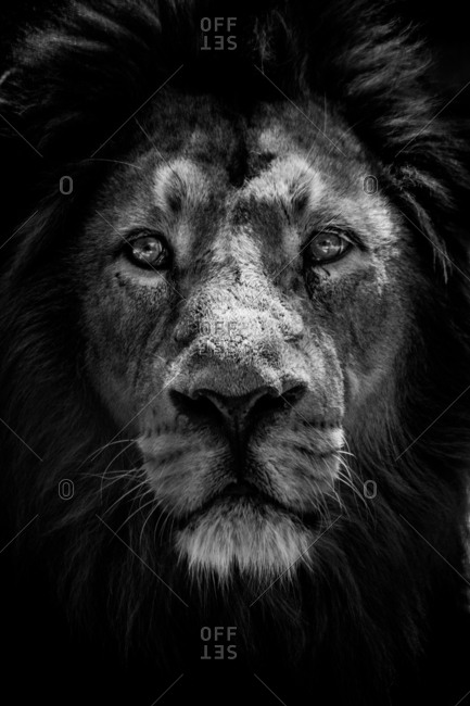 Vertical close-up black and white shot of a lion
