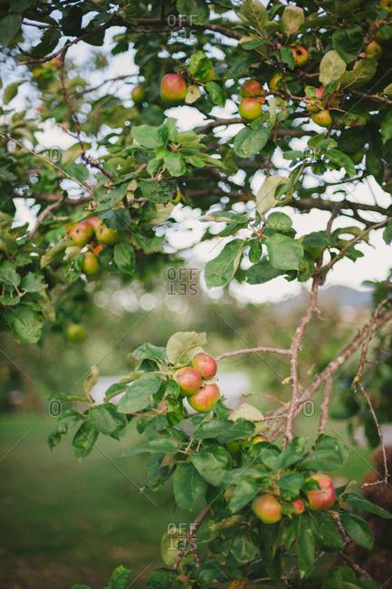 Apples growing on tree in Spain