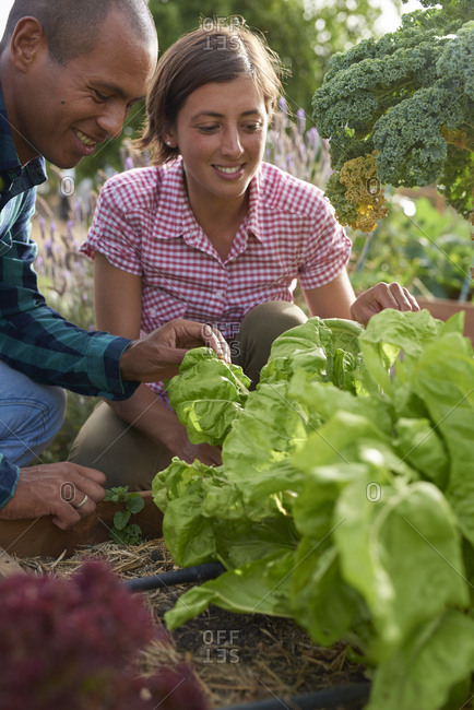Young farmers harvesting lettuce