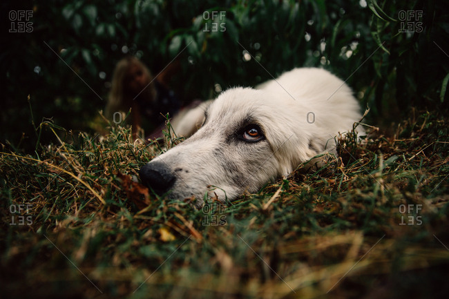 White Great Pyrenees mix dog resting in grass