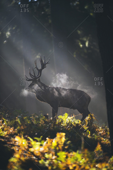 Red deer stag (cervus elaphus) between ferns in misty autumn forest