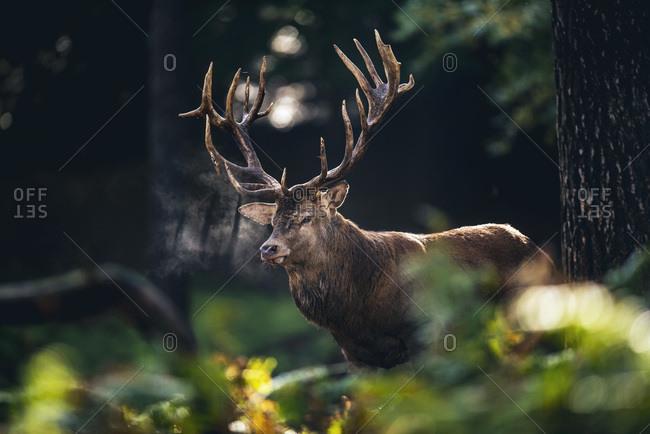 Red deer stag (cervus elaphus) in moist fall forest